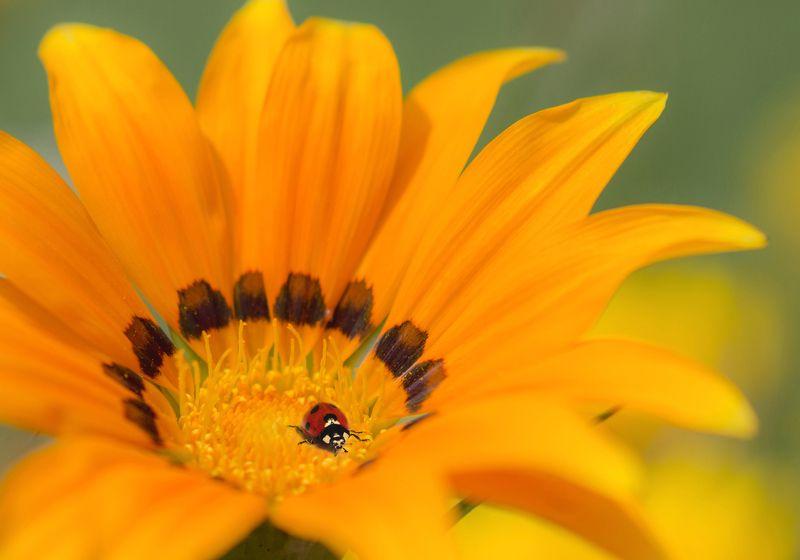 цветок, божья коровка, фон, флора *****photo preview