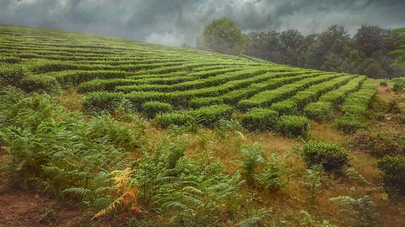 чай пейзаж гроза тучи зелень трава лес туман гроза природа Перед грозой (продолжение)photo preview