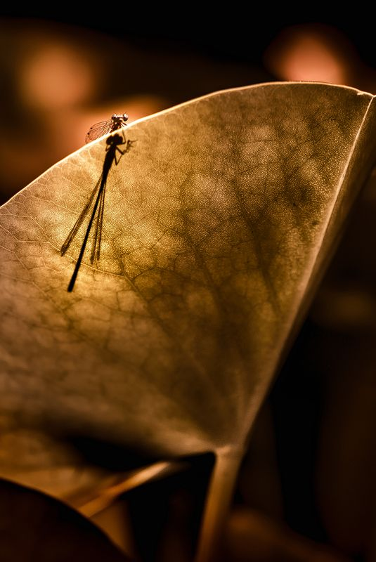 природа, макро, насекомое, стрекоза Зал пергаментовphoto preview