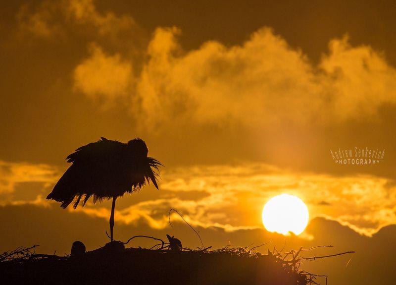 дикий, аист, птенцы, закат, вечер Спокойной ночи, малыши! :)photo preview