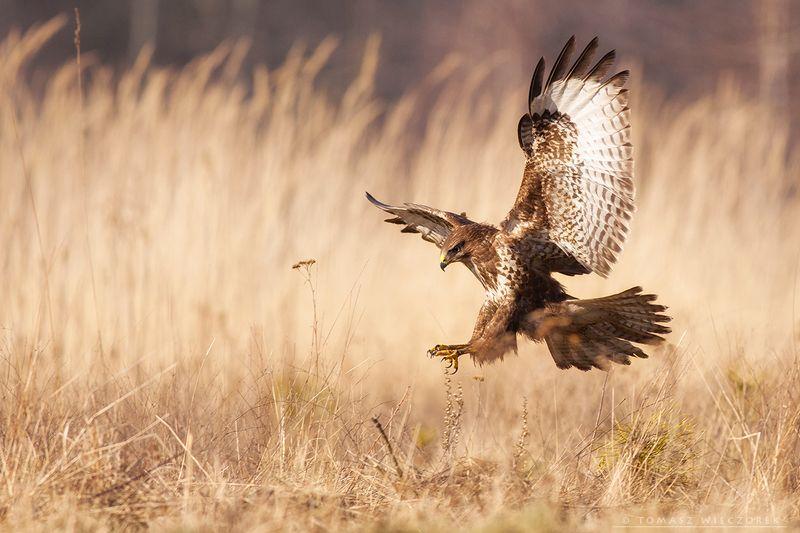 buzzard, wildlife, poland, hide, attack, bird, fields, motion, buteo Attackphoto preview