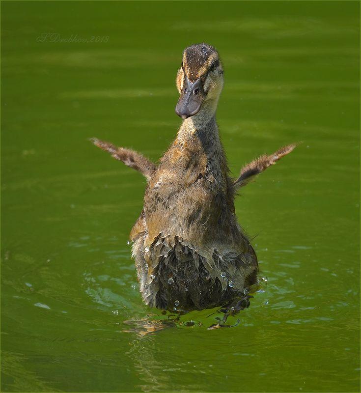 утки, птицы, фауна, животные, вода Летать!!!photo preview