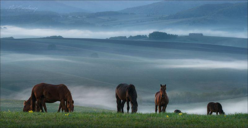 Алтай, Алтайский край, утро, кони, лето Ходят кони ..photo preview