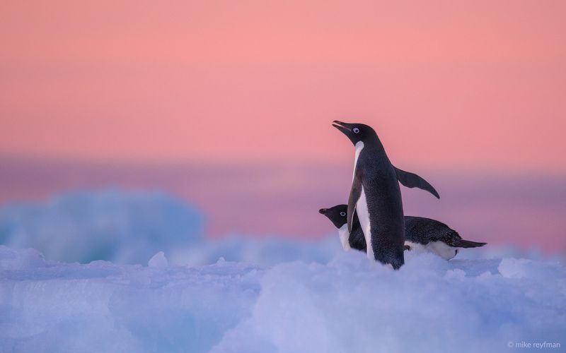 adelie, penguin, antarctic, antarctica, ice, blue, pink, cold, romantic, extreme Последние Романтики.photo preview