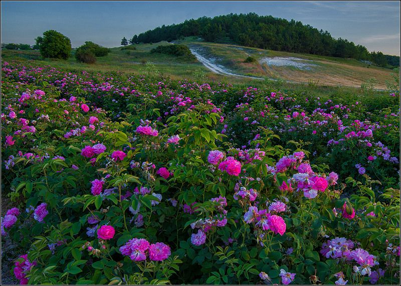 крым, вечер, розы. Розовые Розыphoto preview