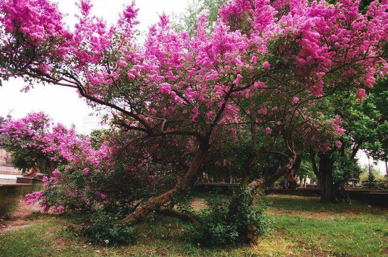 #tree #spring #tsertsis #rostov  #35film #filmphoto #fujicolor дерево весна дерево иуды ростов Дерево Иуды.photo preview