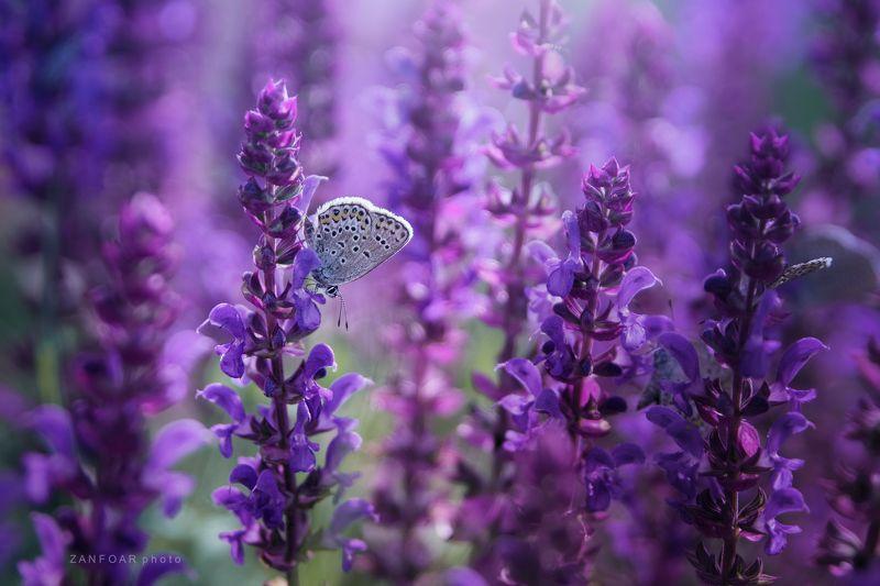 plebejus argus ,zanfoar,czech republic,nikon d750,bohemia,бабочка, макро, подробно, фиолетовый, розовый, фиолетовый, природа, луг,tamron 27-70mm g2, Plebejus argusphoto preview