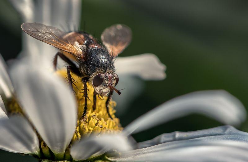 природа, макро, насекомое, ежемуха Ежемухаphoto preview