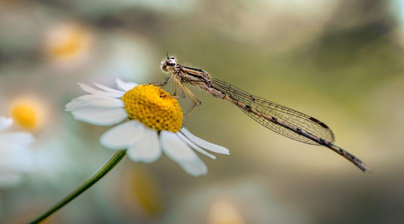 природа, макро, цветы, ромашка, насекомое, стрекоза Глазунья на завтракphoto preview
