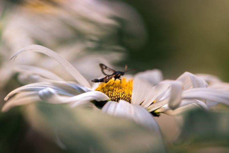 природа, макро, цветы, ромашки, насекомое, стеклянница, расфокус Штормовое предупреждениеphoto preview