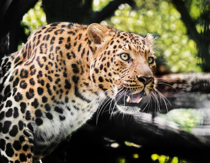 переднеазиатский леопард Переднеазиатский леопардphoto preview