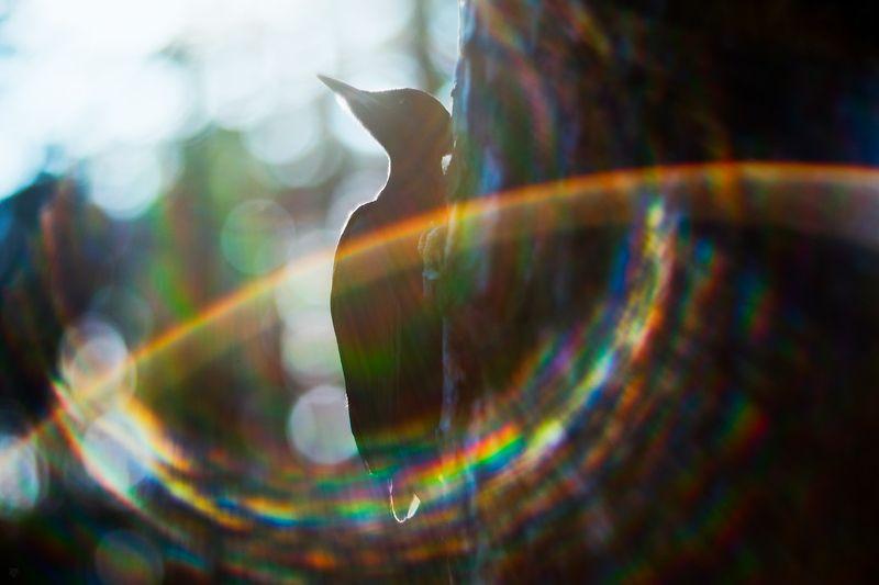 black woodpecker, Dryocopus martius, wildlife, bird The shiningphoto preview