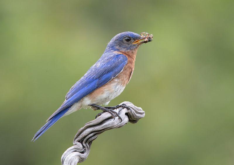 восточная сиалия, eastern bluebird,bluebird Восточная сиалия пара с угощением - Eastern Bluebird Male and Femalephoto preview