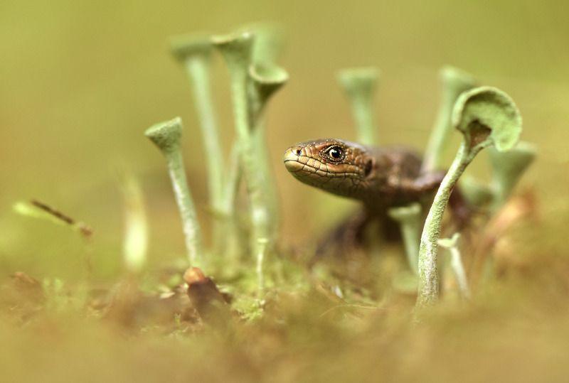 прыткая ящерица ...photo preview