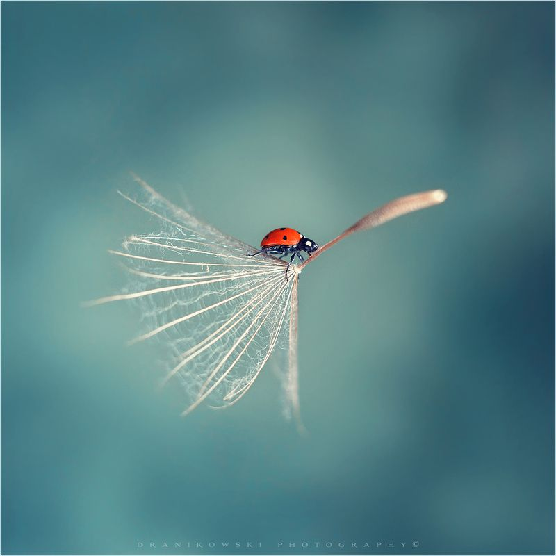 flying ladybug ladybird macro helios dranikowski magic dandelion одуванчик flying ladybirdphoto preview