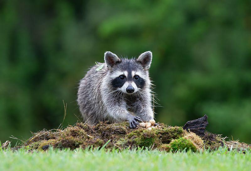 енот обыкновенный, енот-полоскун, raccoon, енот Raccoon - Енот-полоскунphoto preview