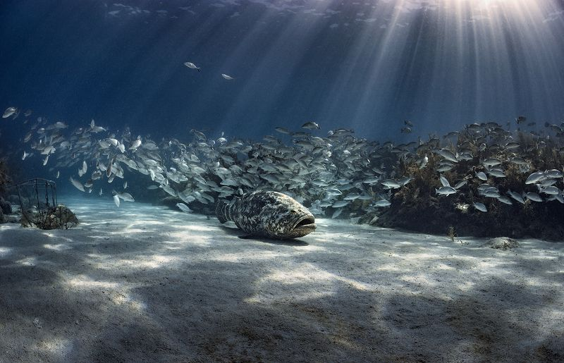 goliath grouper, florida keys Дозорный!photo preview