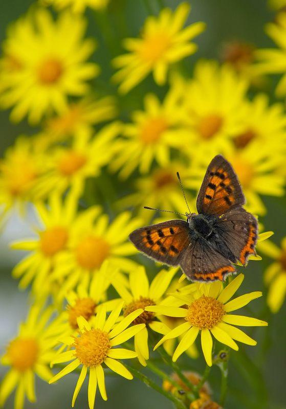 Бабочка Червонецphoto preview