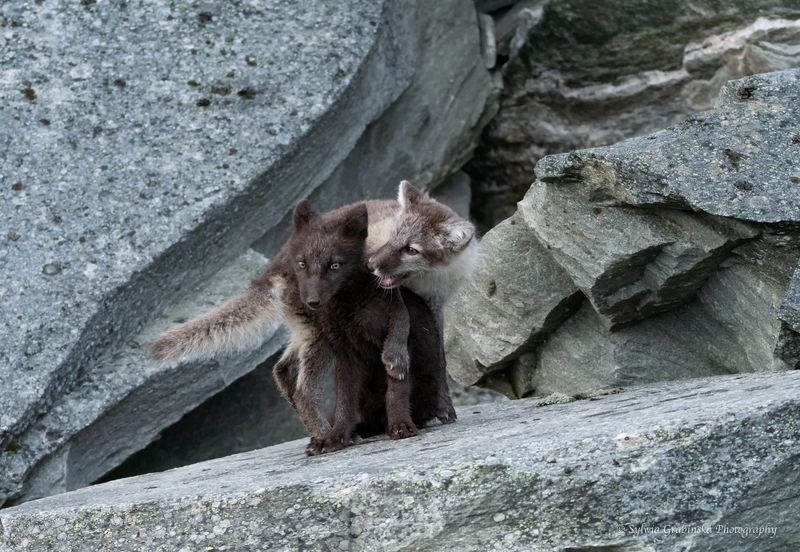 polar fox, arctic fox, fox, animals, wildlife, nature foxesphoto preview