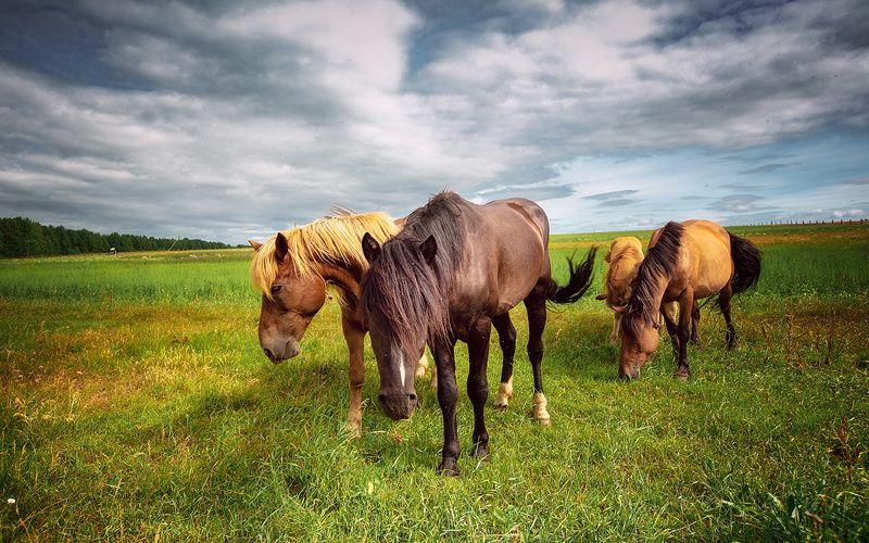 Природа,север,лошади,кони,Печора,КОМИ Сельская жизньphoto preview