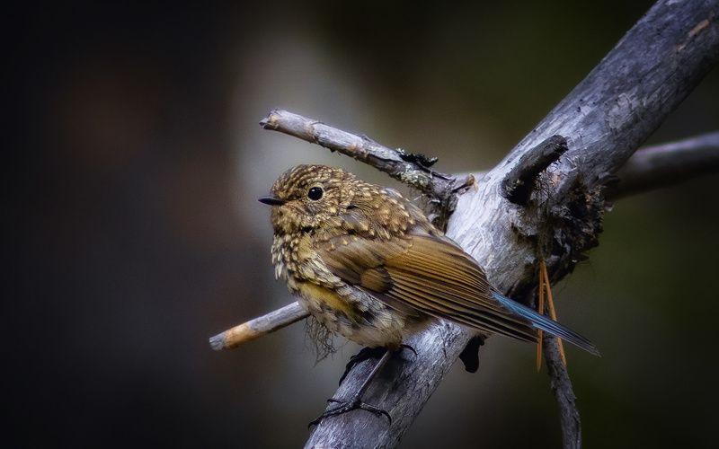 птицы,синехвостка,печора,коми,север Синехвосткаphoto preview
