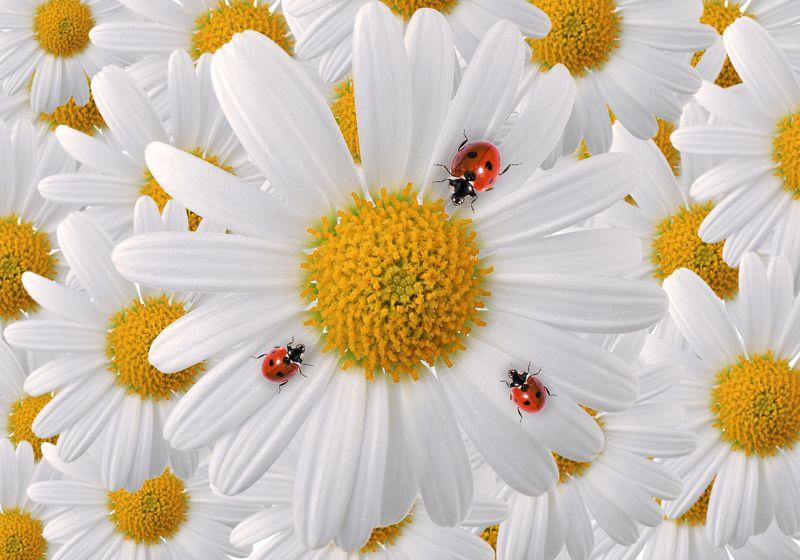 цветок, божья коровка, фон, флора, ромашка Ромашковый райphoto preview