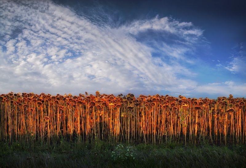 украина, поле, небо, подсолнухи, Подсолнухиphoto preview