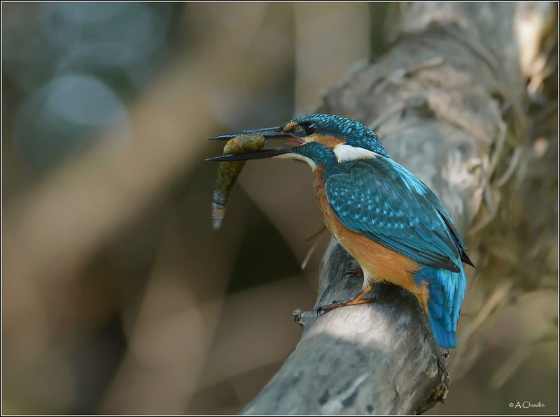 зимородок,рыбка,птица,рыбак Рыбакphoto preview