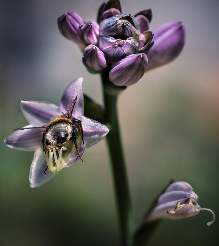 природа, макро, цветы, хоста, насекомое, шмель Пряткиphoto preview