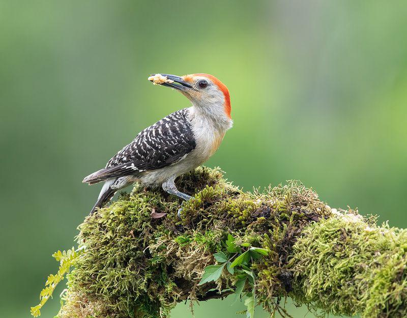 дятел, каролинский меланерпес, red-bellied woodpecker, woodpecker Дятел - Каролинский меланерпес -Red-bellied Woodpeckerphoto preview