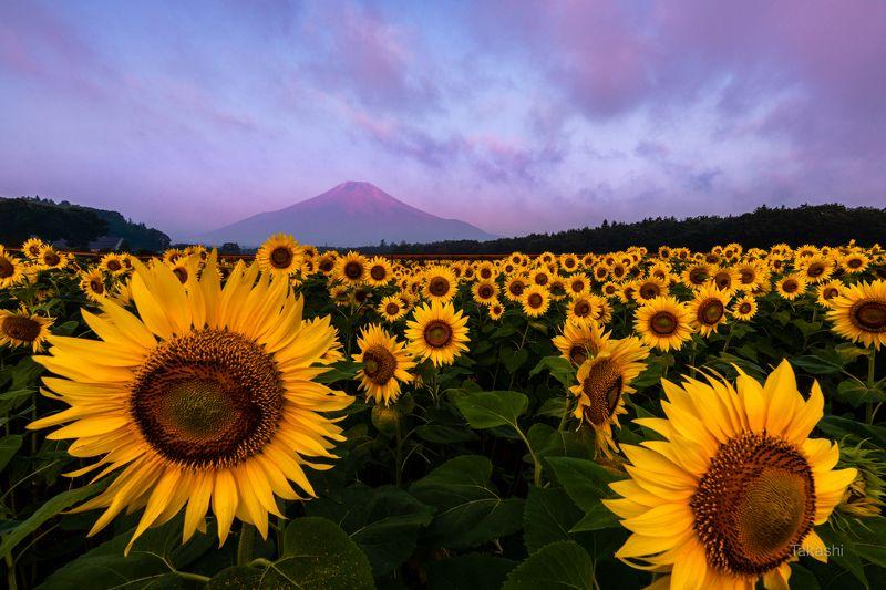 Fuji,Japan,mountain,cloud,yellow,flower,sun flower,summer,morning,beautiful, Yellow facesphoto preview