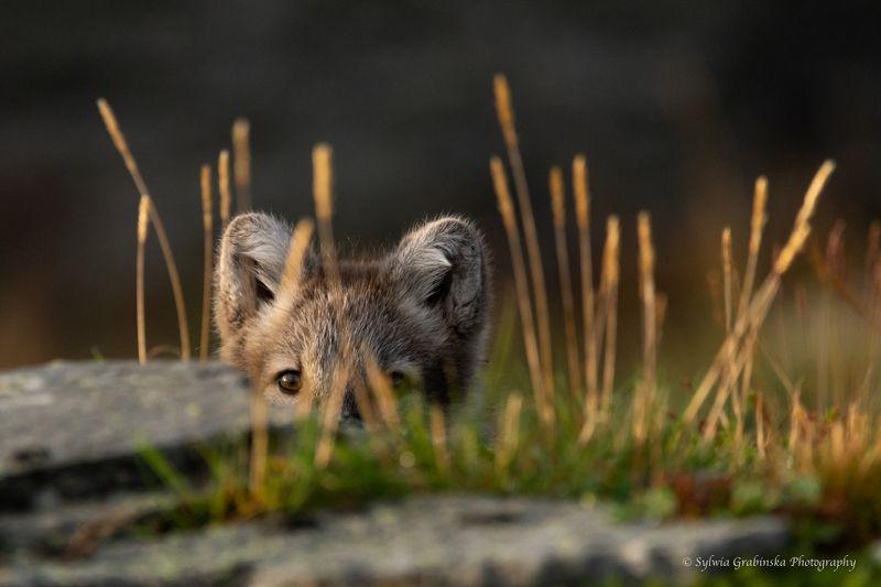 arctic fox, fox, animals, norway, fjelrev, fjällräv, wildlife, nature photo preview