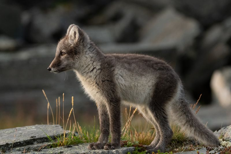 arctic fox, fox, animals, norway, fjelrev, fjällräv, wildlife, nature Observatorphoto preview