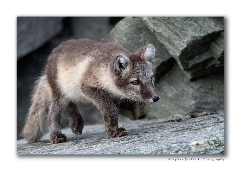 arctic fox, fox, animals, norway, fjelrev, fjällräv, wildlife, nature Hunterphoto preview