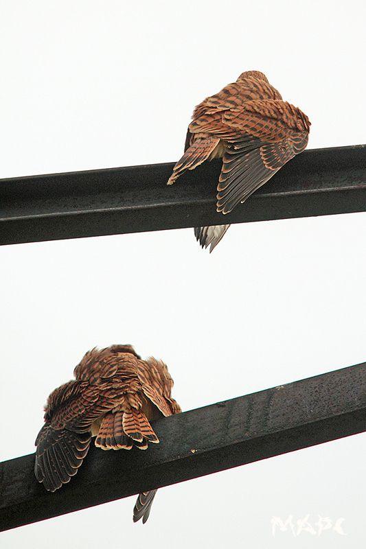 животные птицы лето пустельжата в ожидании мамы В ожидании мамыphoto preview