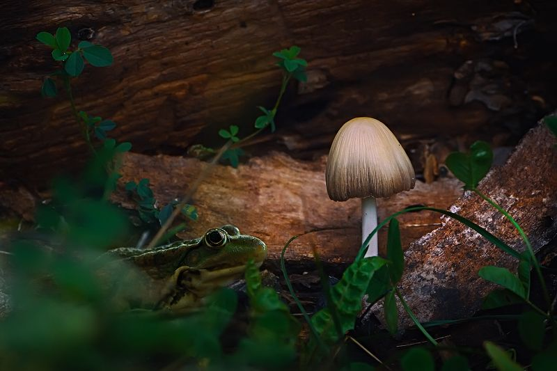 лягушка,свет,гриб,трава,лист,глаза,дерево ***photo preview