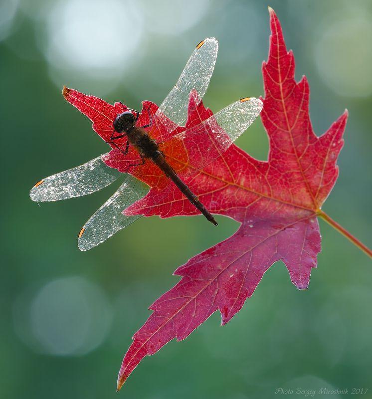 макро, стрекоза, листок, осень, красиво, растение, насекомое, утро, роса, украина Осенний мотивphoto preview