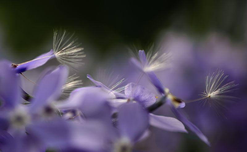 природа, макро, цветы, флокс растопыренный, одуванчик, семена, синий День белых зонтиковphoto preview