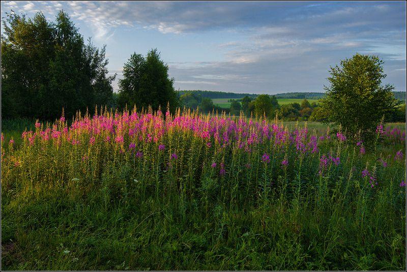 нижегородская область, лето, иван чай Летние цветыphoto preview