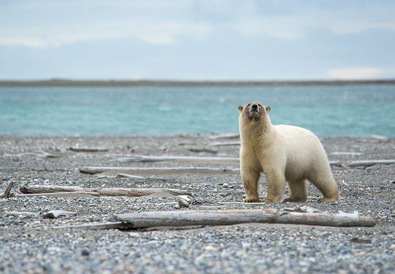 чукотка, арктика, берег,белый медведь, полярный морской Запах...photo preview
