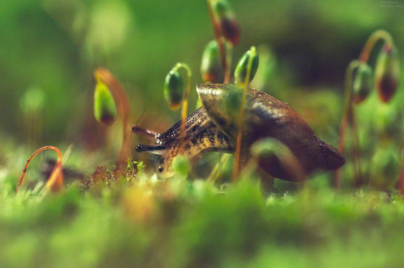 макро, природа, мох, растения, улитка, янтарка, macro, nature, moss, plants, snail,  Улитка Янтаркаphoto preview