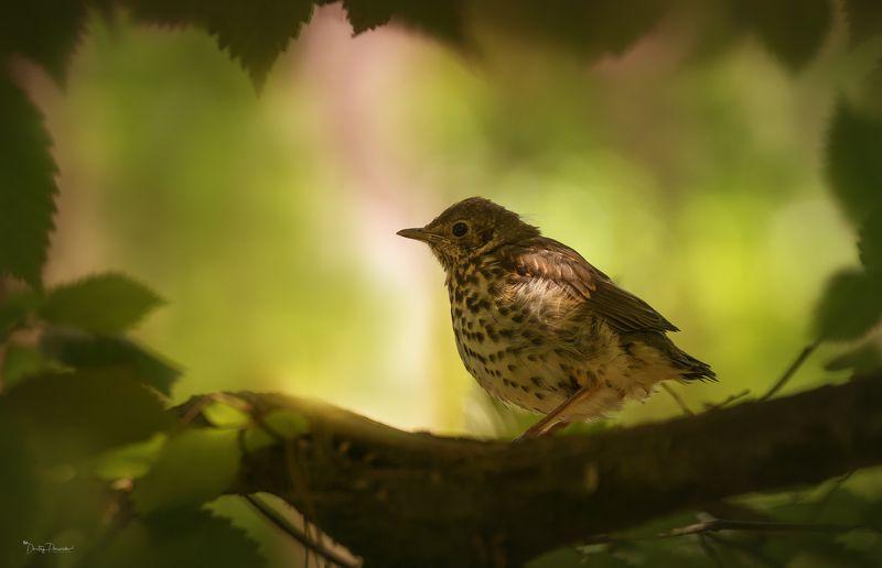 природа, лес, животные, птицы Пухлый скромняжкаphoto preview