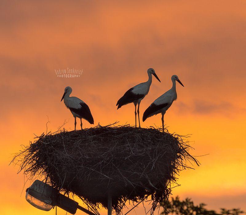 дикий, аист, птенцы, закат, вечер Огненный закат с аистамиphoto preview