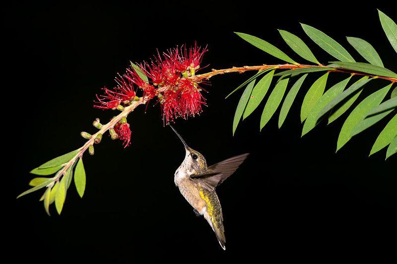 колибри, ruby-throated hummingbird, hummingbird Ruby-throated Hummingbird -Колибриphoto preview