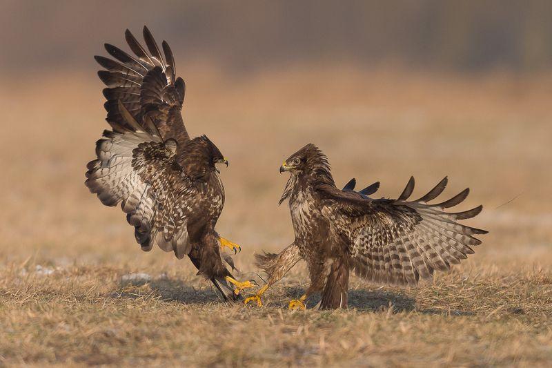 buzzard, fight,birds photo preview