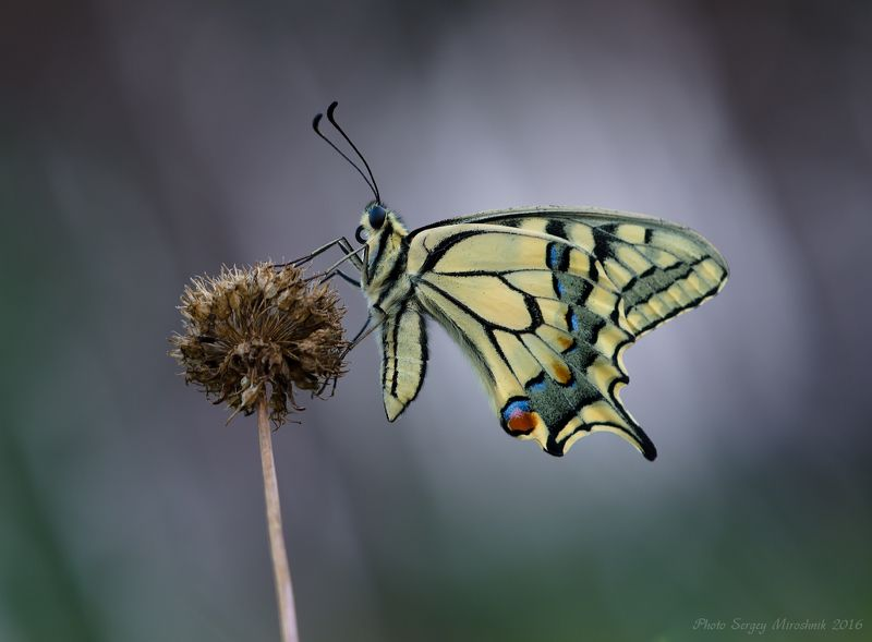 макро, бабочка, махаон, красиво, растение, насекомое, вечер, украина Махаонphoto preview