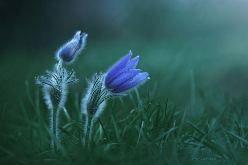 pulsatilla grandis ,twins,flowers,zanfoar,czech republic,nikon d750,nature,близнецы, пейзаж, природа, цветы, луг, макро, чешская республика, pulsatilla grandis - twinsphoto preview