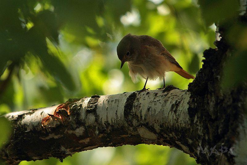 животные птицы лето береза горихвостка Птичкина думаphoto preview