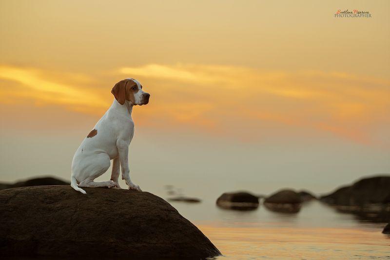 щенок английского поинтера На закате...photo preview