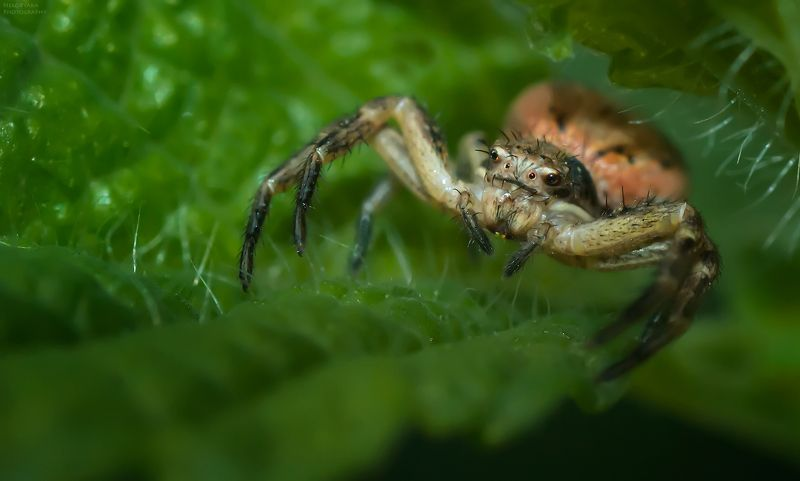 макро, природа, насекомые, паук, бокоход, краб,macro, nature, insects, spider, crab, Милые глазкиphoto preview